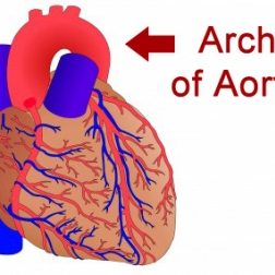Heart showing aortic arch in red